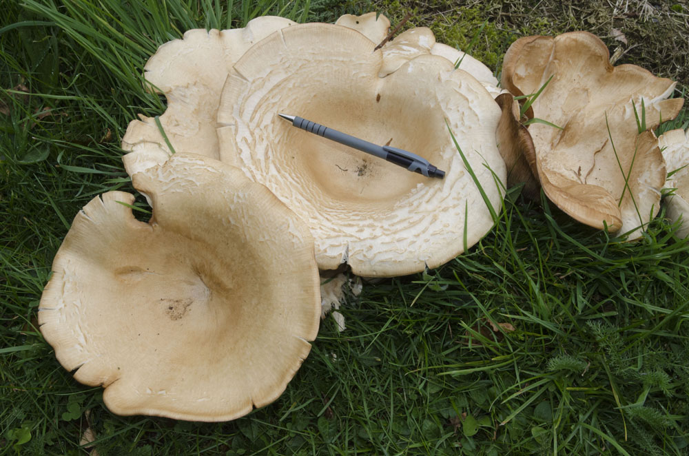 Giant funnel fungi