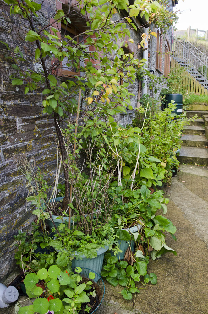 Plants and trees from our previous garden in pots, awaiting planting out