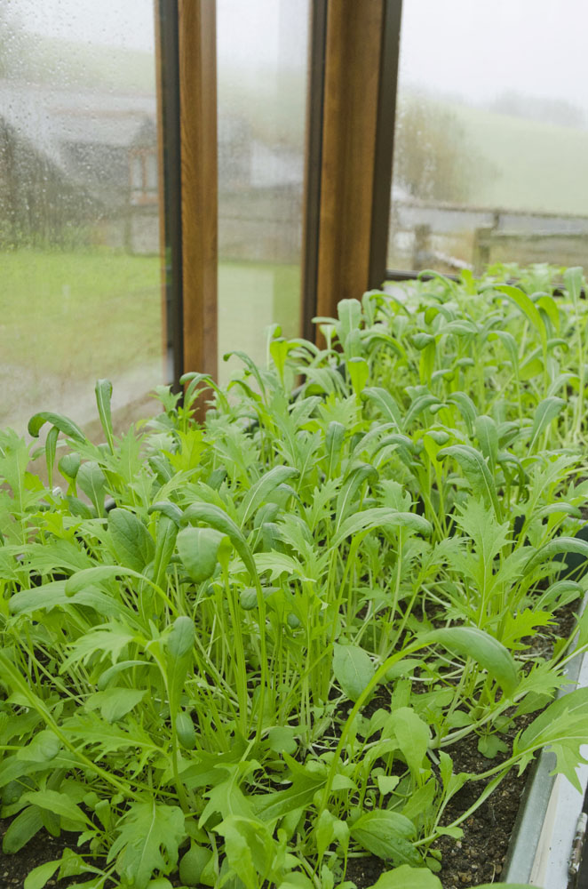 Our winter salads growing under glass