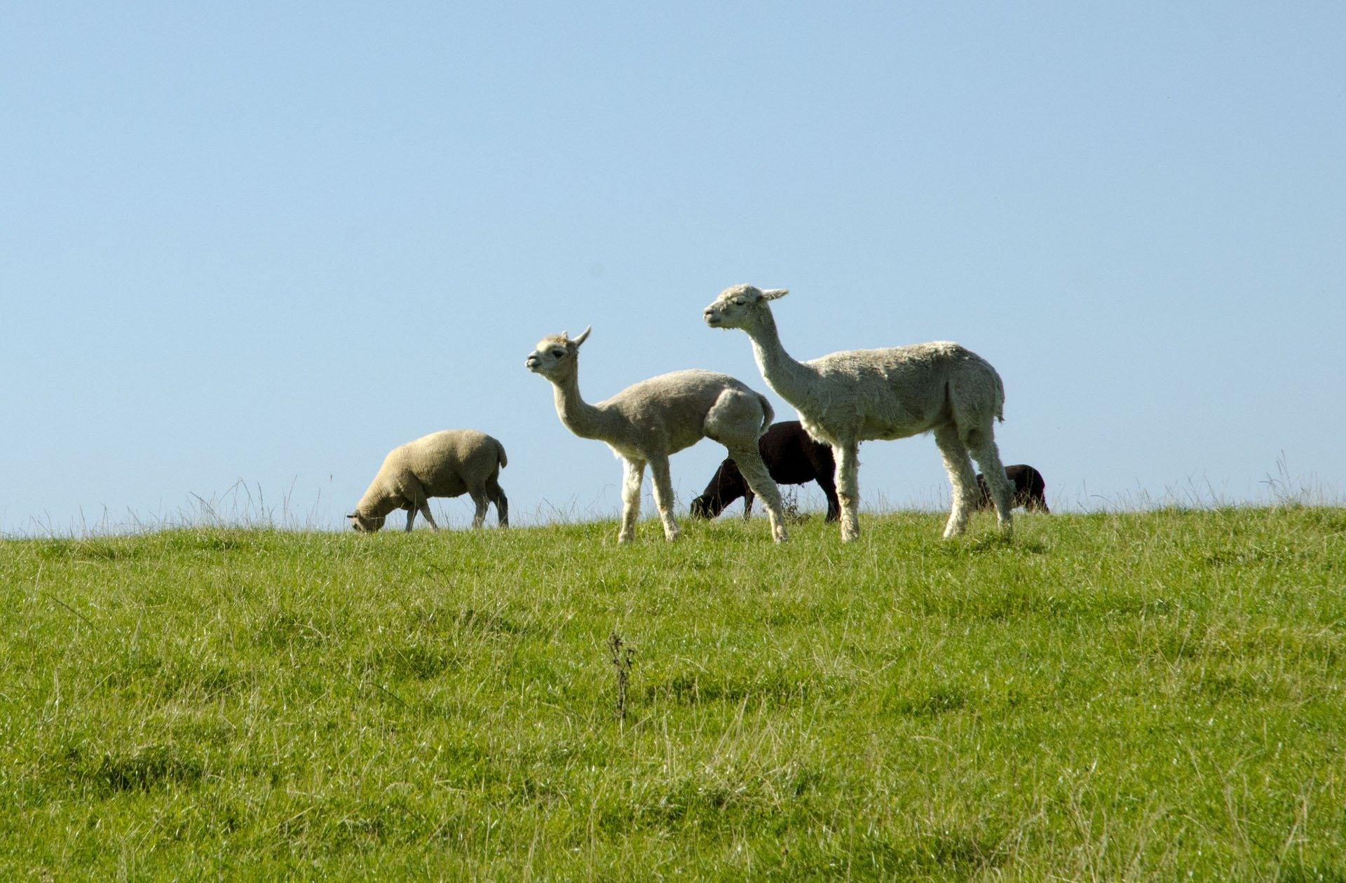 Alpacas and sheep on skyline