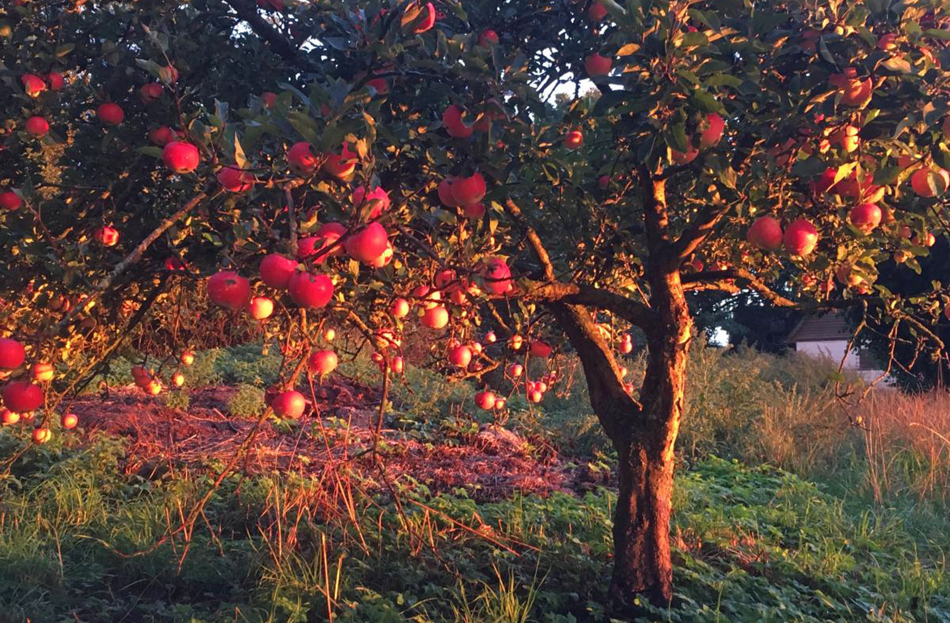 Sunset apples